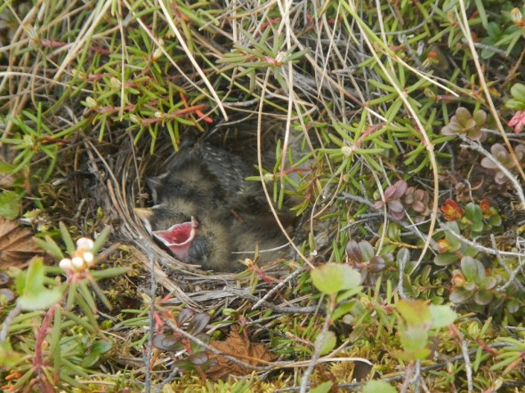 Lapland Longspur chicks Alaska Arctic climate change