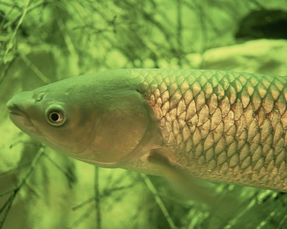 Grass carp Aquatic Invasive species Asian carp Lake Erie U.S. Fish and Wildlife Service Great Lakes Threat