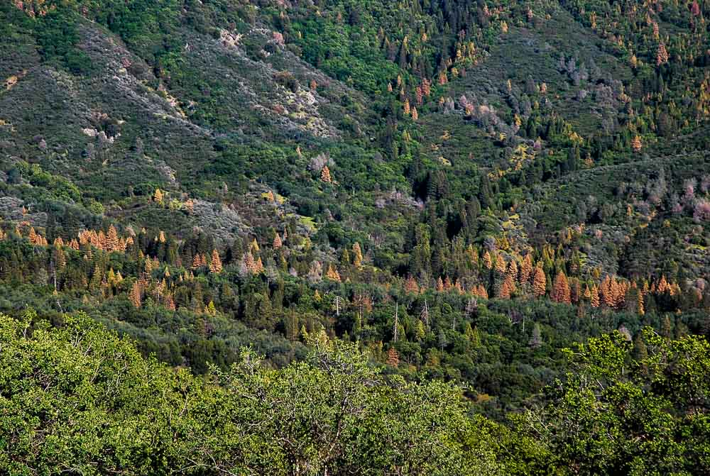 Ponderosa pine forest dead trees US Forest Service Sierras California drought water