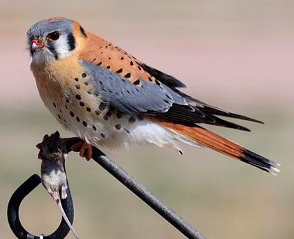 beautiful kestrel