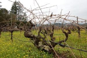 unpruned vine