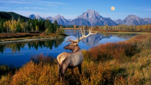 mountain rang, deer, America