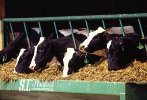 Holstein Dairy Cows: Source, Wikipedia