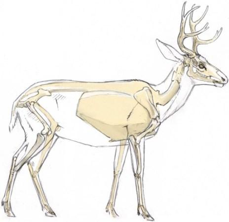 struttura scheletrica di un cervo
