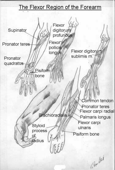 tavola anatomica del braccio e delle mani