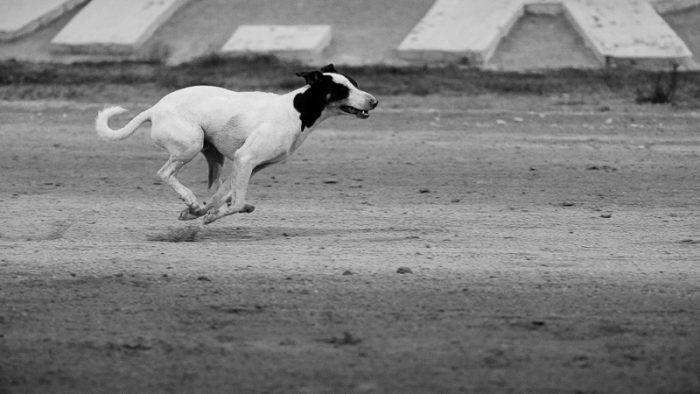 Dog enjoying a run.