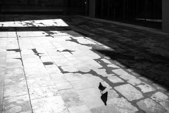 Pigeon, Valletta