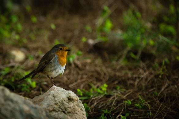 Robin friend, Ghajn Tufieha