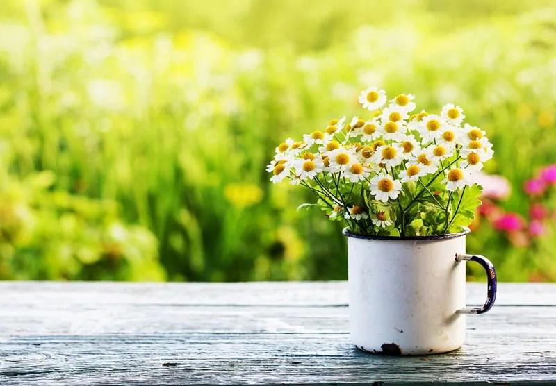 margherite in primavera