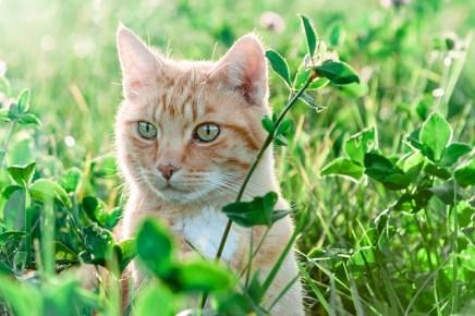 vörös macska ül a fűben