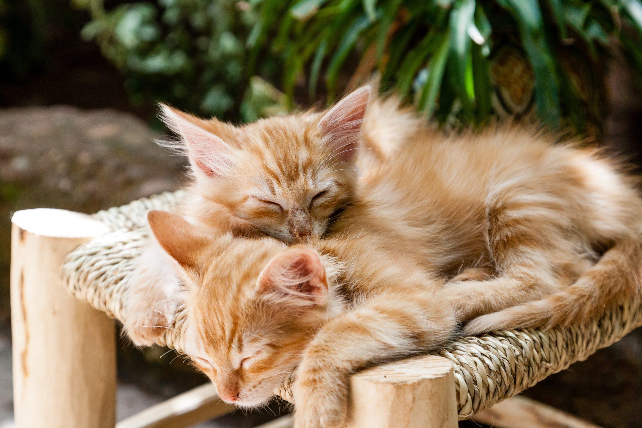 Két vörös alvó kiscica