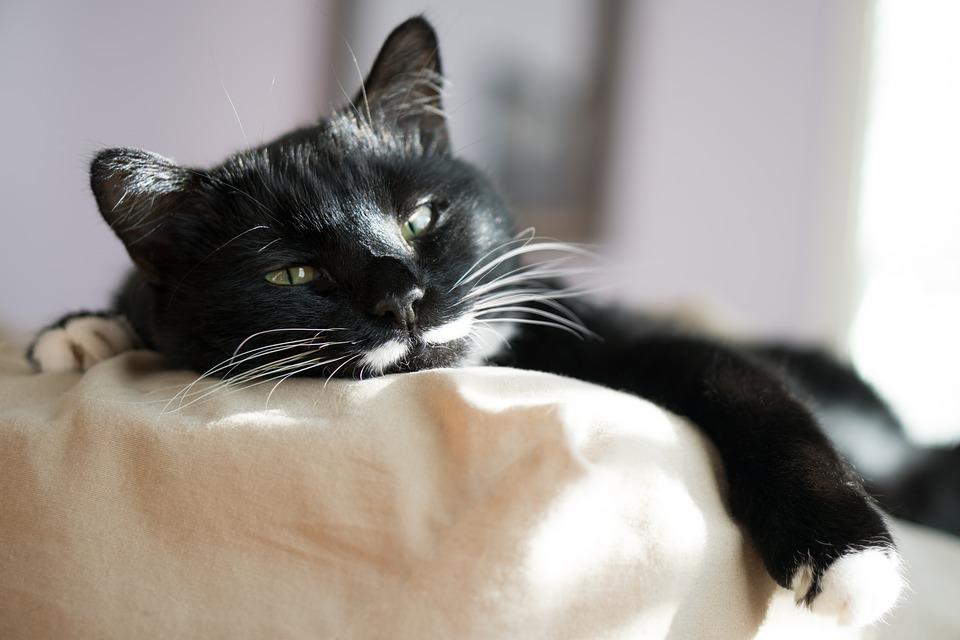 Lusta fekete-fehér macska