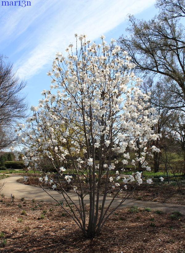 Merrills Loebner Magnolia  Magnolia x loebneri Merrill