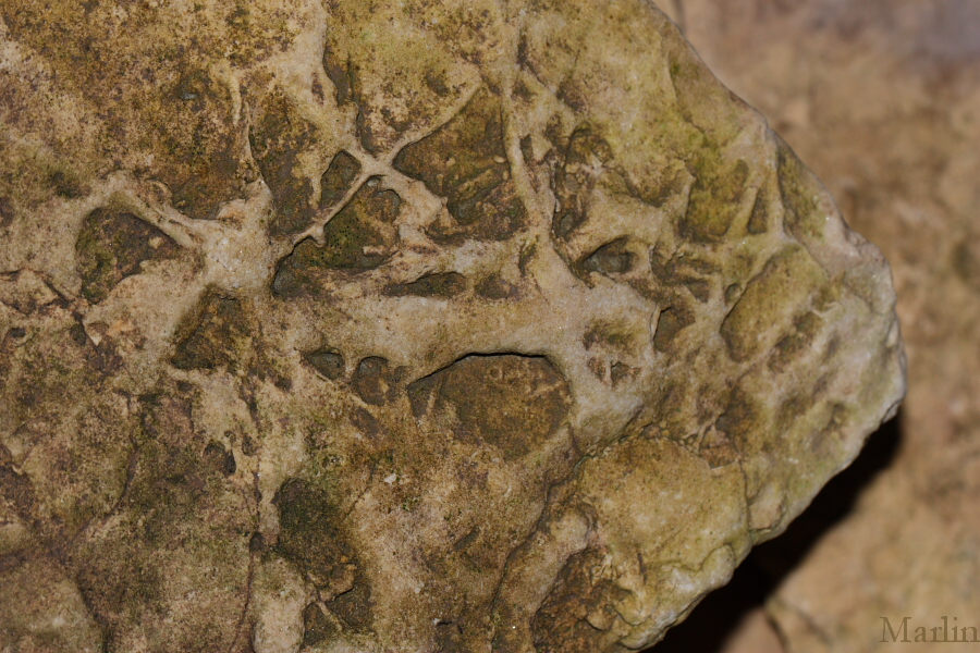Ordovician Fossils in Ogle County. Illinois - North American Insects & Spiders