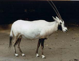 Arabian Oryx  CITES
