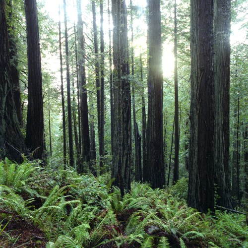 Lady Johnsons Redwoods #3