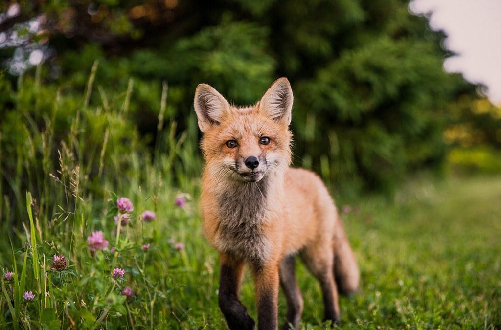 Quand le renard n'est pas là…les mulots dansent, les tiques aussi !