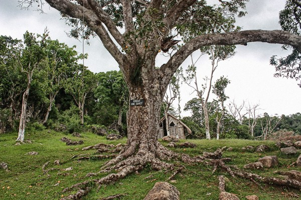 "The sacred ""Kindah"" tree in Accompong, Jamaica. Courtesy of Roy Anderson"