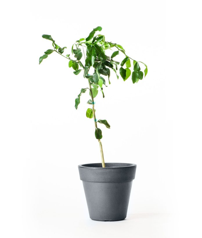 Dwarf Kaffir Lime Tree (Age: 1 Year, Height: 18 - 26 IN)