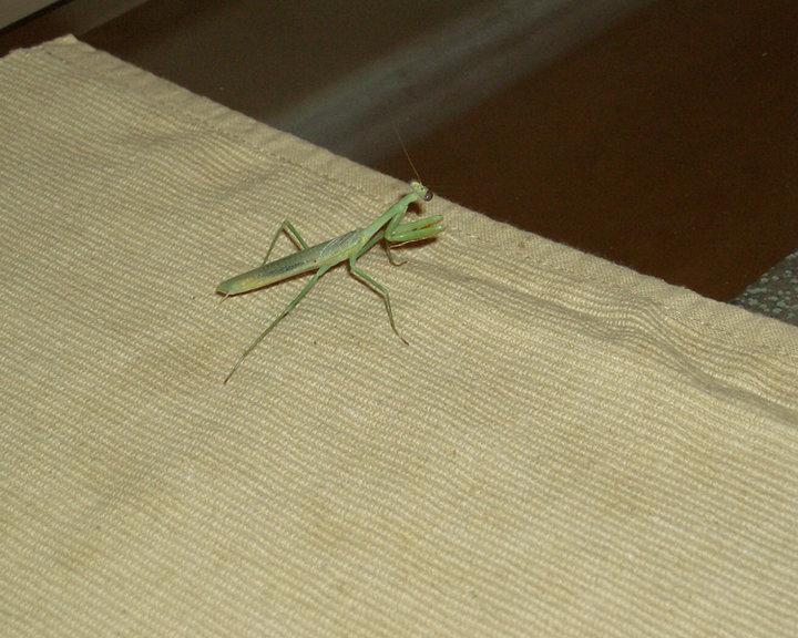 Praying Mantis in the House (backyard spring fruit pets ...