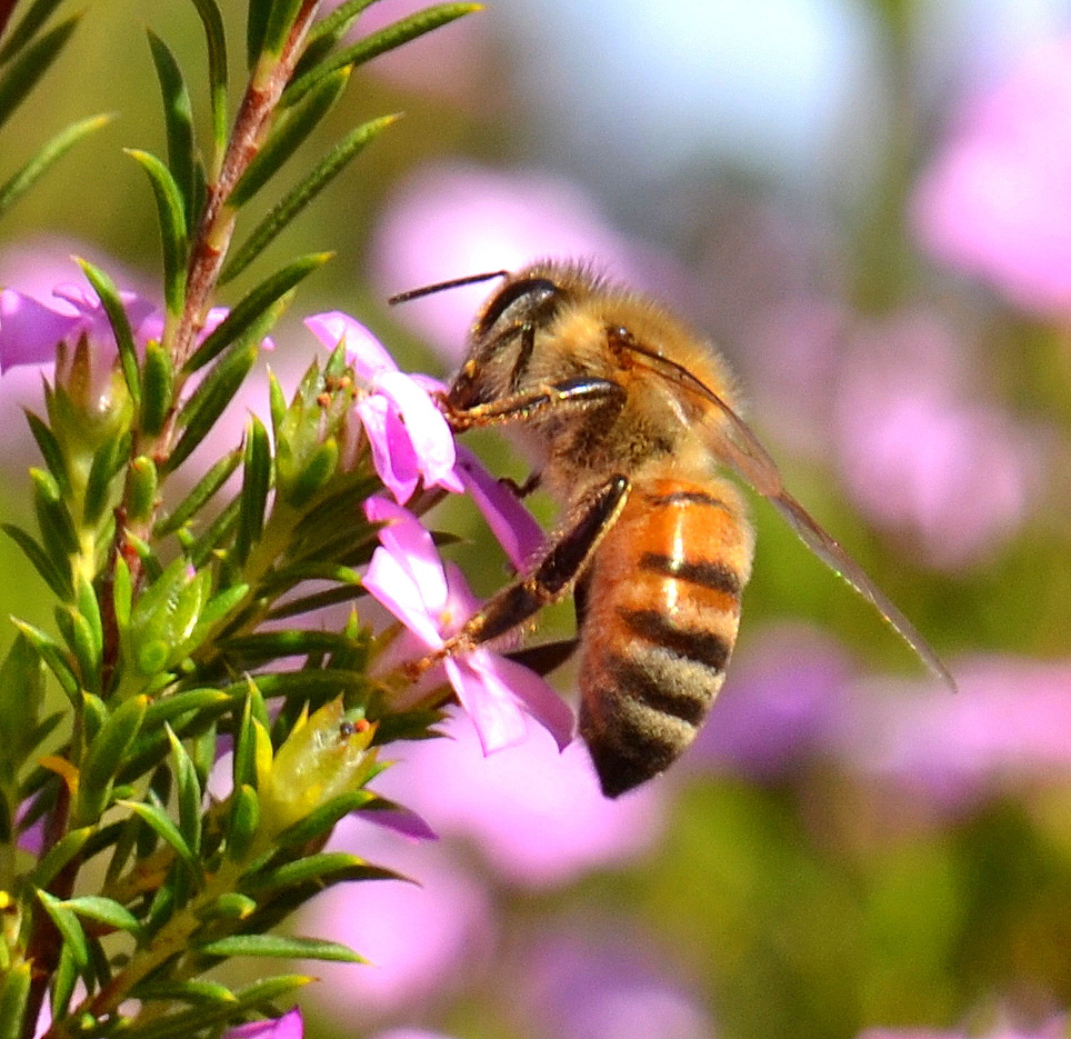 about city bee savers finding saving u0026 breeding local honey bees