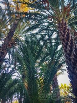 Date palms in San Ignacio. Photos: Kerri Dougherty.