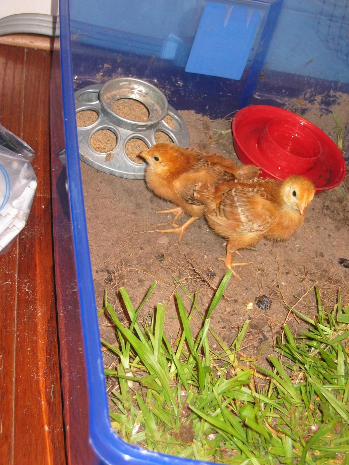 Tame Chicks