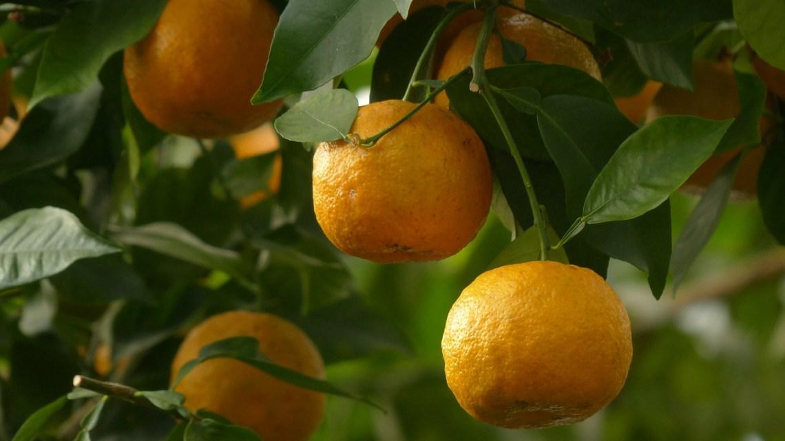 il lato dolce dell'arancio amaro