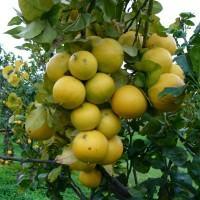 Bergamotto sempre più 'Oro di Calabria'. Vicino il riconoscimento patrimonio Unesco