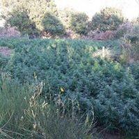 Scoperte 2 mila piante di marijuana in provincia di Reggio