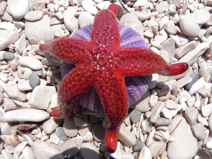 red seastar on violet sea urchin-house, Gdinj