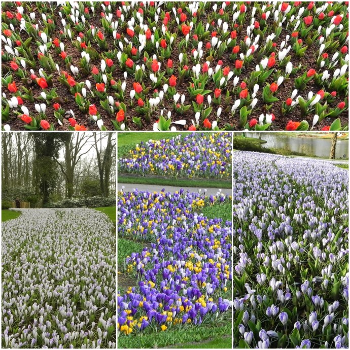 colorful tulips in Keukenhof Gardens