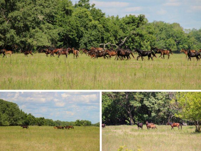 Wild Horses in Letea, Danube Delta, Romania