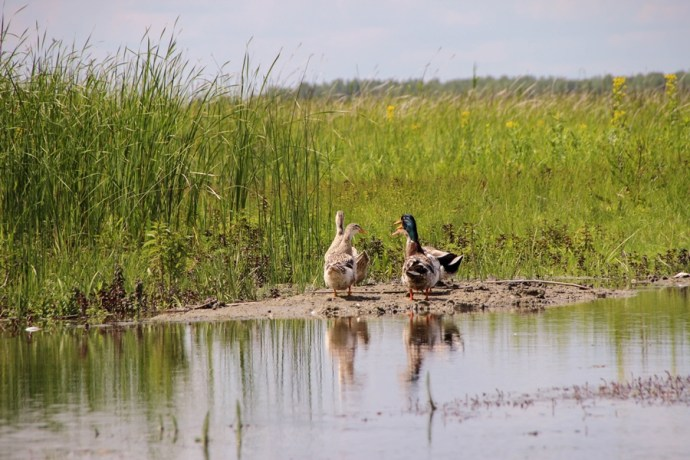 Ducks of the Danube Delta