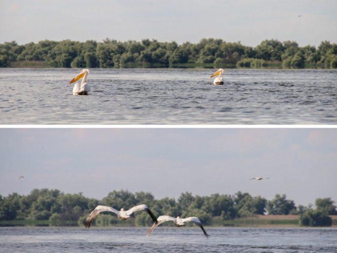 Pelicans in the Danube Delta, Romania