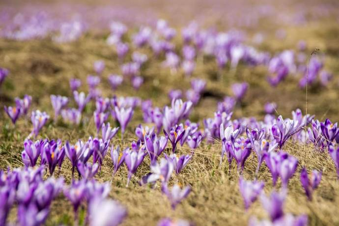 Padis Crocus Fields, Apuseni Mountains, Western Carpathians