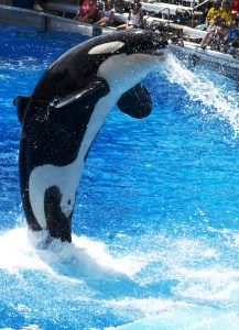 Orca jumiing out of the water in Orlando