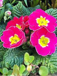 lazy flora -primrose