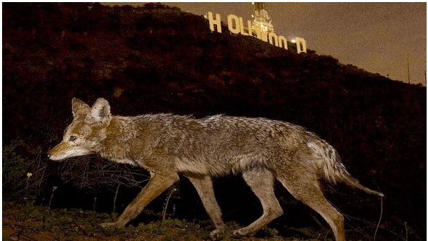 Doublethink Leaves LA Torn Between Coyotes and Feral Cats