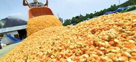 PARA CULTIVAR 720 MIL HECTÁREAS: Ejecutivo Nacional distribuirá 960 mil sacos de semilla de maíz