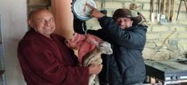 Mejoran genética de los ovinos para consumo humano