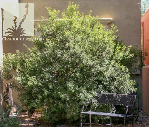Mastic Tree  Pistacia lentiscus  Civano Nursery