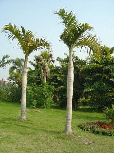 棍棒椰子 - 植物庫