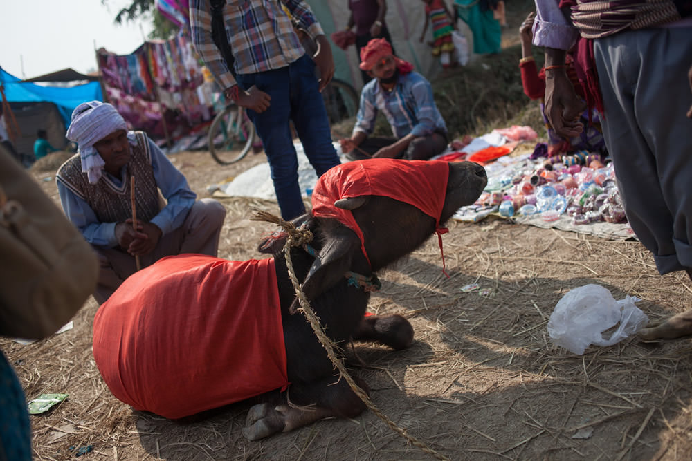 A young buffalo collapses on the way to the Gadhimai festival.