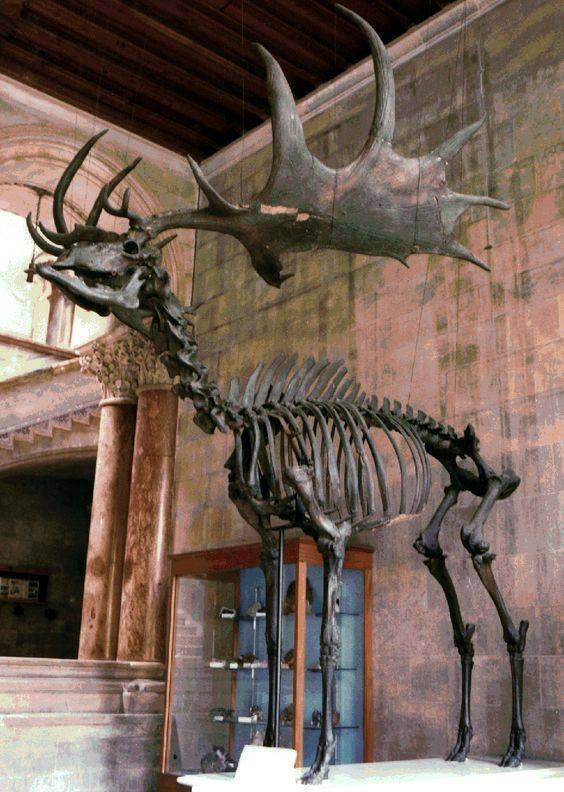 """rhubarbes: """"The Irish Deer or Giant Deer via Paleontology """" Elk… that's an Irish elk… Megaloceros giganteus… Although, they were actually ranged across northern Europe and Asia from Ireland to Siberia, and aren't related to modern American Elk (or..."""
