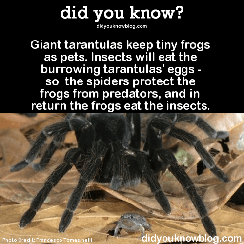 "rapid-artwork: "" fedoraspooky: "" sir-p-audax: "" bogleech: "" did-you-kno: "" Giant tarantulas keep tiny frogs as pets. Insects will eat the burrowing tarantulas' eggs - so the spiders protect the frogs from predators, and in return the frogs eat the..."
