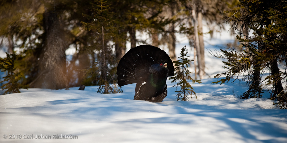 The capercaillie is coming