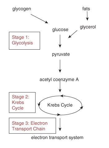 stages of glycolysis and fermentation diagram danfoss 3 port motorised valve wiring advanced ck 12 foundation figure 4