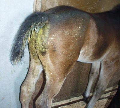 Rotavirus - Foal Diarrhea - Conley and Koontz Equine Hospital