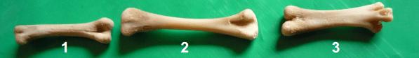 Efecto-suplementación-aceite-esencial-orégano-mineralización-ósea-integridad-esquelética-pollos-carne-3